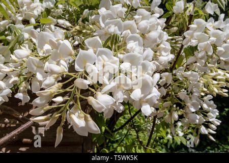 White Wisterria Sinensis Blanca growing up the side of a garden potting shed. - Stock Photo