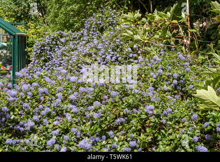 Ceanothus thyrsiflorus repens, growing on top of a bank beside a greenhouse. - Stock Photo