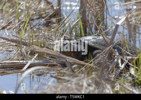 Old Common snapping turtle (Chelydra serpentina) in the conservation wildlife area in Wisconsin. - Stock Photo