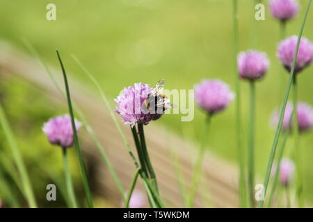 Bumble bee collecting nectar from flowering chive (Allium schoenoprasum) herbaceous plant in English garden - Stock Photo