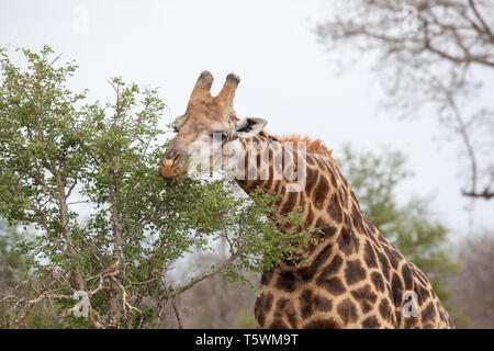 Giraffe feeding - Stock Photo