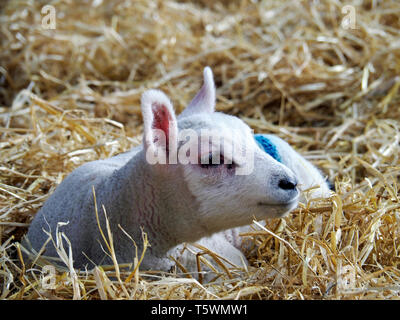 Young lamb lying on straw in a barn during lambing season. Barn lambing is easier for the farmer and provides better protection for the lambs. - Stock Photo