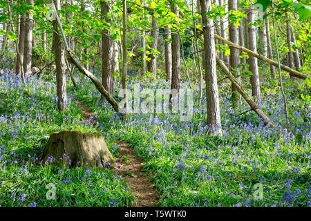 Bluebell wood, Great Britain. English common bluebells (Hyacinthoides non-scripta) in natural UK woodland.