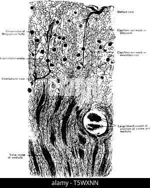Longitudinal Section of Kidney of a Dog showing general arrangement of blood vessels of cortex vintage line drawing or engraving illustration. - Stock Photo