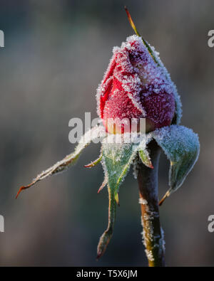Beautiful macro image of a frozen rose flower covered with frost crystals captured during dawn in warm morning light - Stock Photo