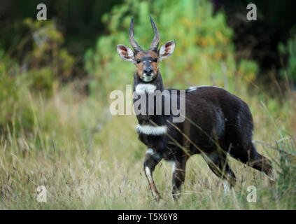 Menelik's Bushbuck (Tragelaphus scriptus meneliki) standing in the forest, Ethiopia. - Stock Photo