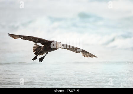 Close up of a Southern Giant Petrel (Macronectes giganteus) in flight, Falkland Islands. - Stock Photo