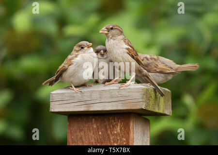Portrait of a house sparrow (Passer domesticus) female feeding her chicks - Stock Photo