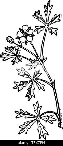 A picture, that's showing a Silvery cinquefoil. This is from Rosaceae family, vintage line drawing or engraving illustration. - Stock Photo