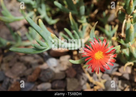 Closeup of blooming red Karkalla succulent plants flower in the sunlight - Stock Photo