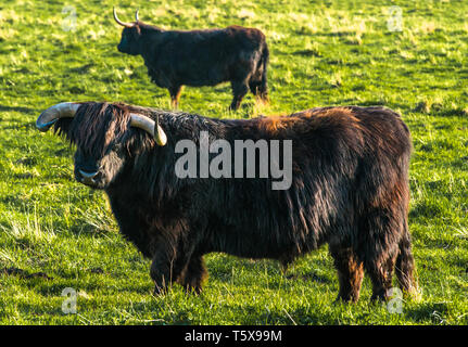 Highland cattle grazing on Wicken Fen Nature Reserve in Cambridgeshire, East Anglia, England, UK. - Stock Photo