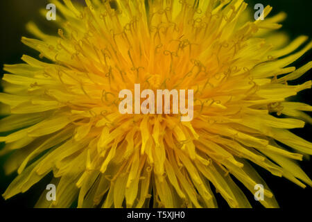 Macro close up of a yellow dandelion flower with many details like petals and pollen (Taraxacum Officinale / Taraxacum Sect. Ruderalia) - Stock Photo