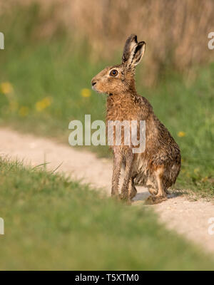 A Brown hare (Lepus europaeus) sitting in the early morning sun, Oxfordshire - Stock Photo
