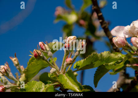 Ladybird with dots in spring on an apple blossom in front of a blue sky - Stock Photo