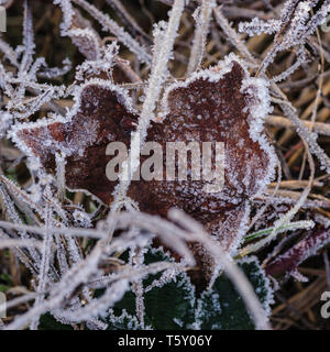 Macro image of a frozen maple leaf in withered grass covered with little ice crystals of morning frost reveals rich texture - Stock Photo