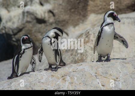 African penguins (Spheniscus demersus), Boulders Beach, Simon's Town, Cape Peninsula, South Africa. - Stock Photo