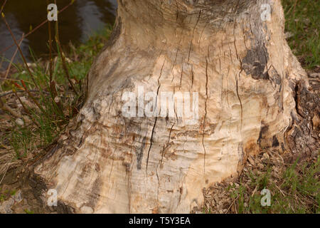 tree damaged by beaver, damaged and gnawed tree caused by beaver also called castoridae in bavaria - Stock Photo
