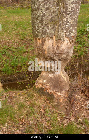 badly damaged tree due to beaver eating, damaged and gnawed tree caused by beaver also called castoridae in bavaria - Stock Photo