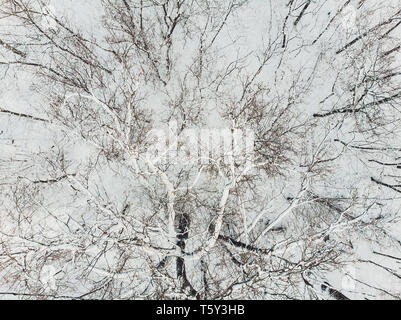 Aerial view of snow covered coniferous forest plantations. Rows of spruces in sunlight. - Stock Photo