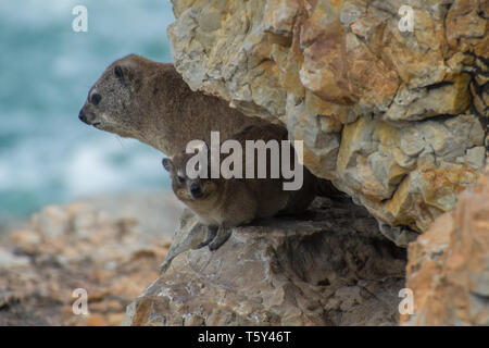 Rock hyrax (Procavia capensis) and baby, Hermanus, South Africa. - Stock Photo
