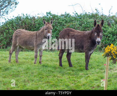 Donkeys in a field of grass out to pasture. - Stock Photo