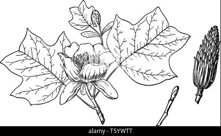 A picture showing branch of Yellow Poplar also known as Liriodendron Tulipifera which is native throughout North America, vintage line drawing or engr - Stock Photo