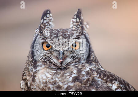 A closeup of an African spotted owl (Africanus Bubo) staring intently at the camera - Stock Photo