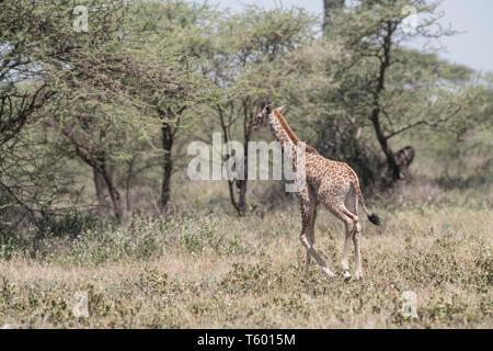 Giraffe calf walking, Tanzania - Stock Photo