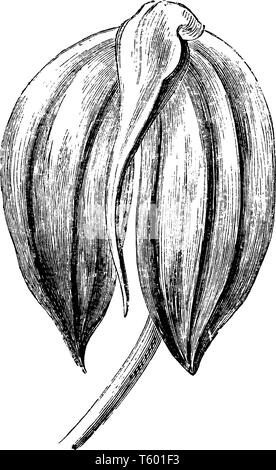 An illustration of masdevallia ignea's flower is a species of orchid endemic to Colombia. The flower is bright fiery red and deeply shaded with crimso - Stock Photo