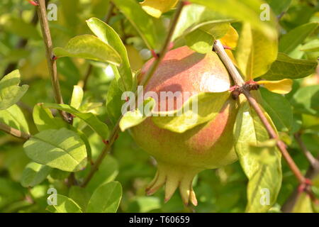 Close-up view to one green red pomegranate fruit brightly illuminated by the sunshine in the middle of leaves and branches. - Stock Photo