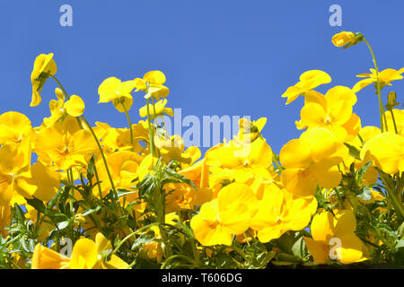 Beautiful bright yellow heartsease pansy flowers on blue sky background in a sunny summer day. - Stock Photo