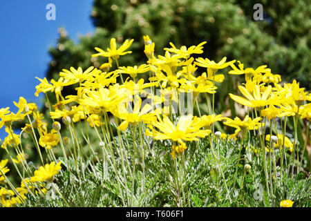 Beautiful bright yellow daisy flowers on blue sky background in the garden in a sunny summer day following the sun. - Stock Photo