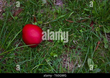 Single Red Apple Lying On Rough Grass In Autumn - Image - Stock Photo