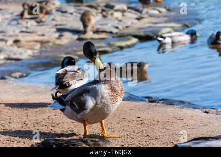 Male mallard duck (Drake, Anas platyrhynchos) preening his front plumage by the River Severn, Upper Arley, Worcestershire. - Stock Photo