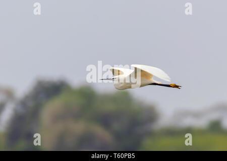 Little Egret in Flight (Egretta garzetta) Small White Heron - Stock Photo