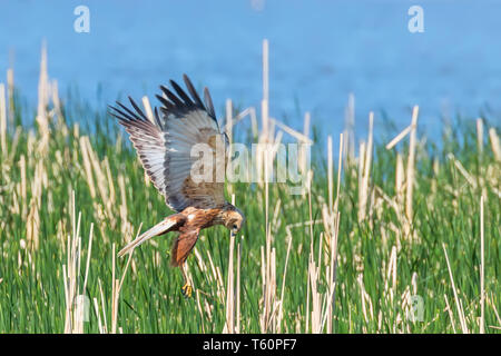 Western Marsh Harrier in flight (Circus Aeruginosus) - Stock Photo