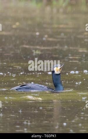 Cormorant Fishing Rain (Phalacrocorax carbo) Rainstorm Cormorant - Stock Photo