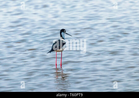 Black-Winged Stilt in Shallow Water (Himantopus himantopus) Wader Bird Stilt - Stock Photo