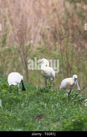 Group of Eurasian Spoonbills (Platalea leucorodia) Common Spoonbills - Stock Photo