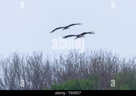 Black Stork in flight spring migration (Ciconia nigra) Pair - Stock Photo