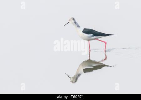 Black-Winged Stilt in Shallow Water Reflection (Himantopus himantopus) Wader Bird Stilt - Stock Photo