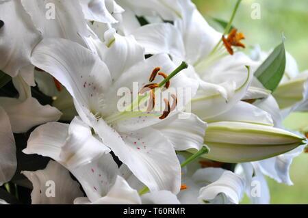 Closeup on big white lily flowera - Stock Photo