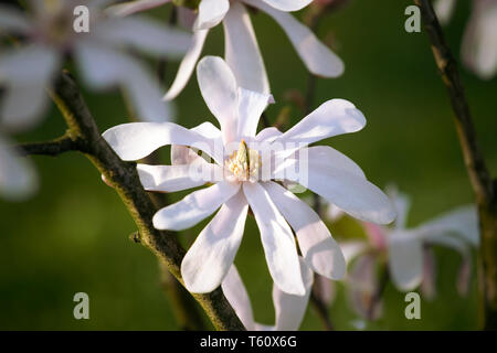 Star magnolia, Starry magnolia, stellata tree in blossom. Single white flower on green background, macro. Spring bloom. - Stock Photo