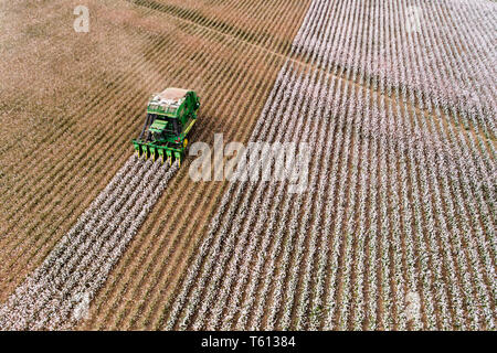 Endless cotton field with blossoming raw cotton plants harvested by combine tractor on the next patch of rows in elevated aerial view. - Stock Photo