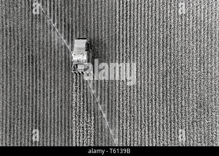 Cotton harvest combine tractor driving on cotton field riping grown cotton raw material in aerial overhead view - black white to contrast white cotton - Stock Photo