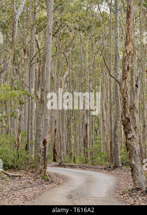 A dirt road or trail though a Spotted Gum (Corymbia maculata) forest in Bawley Point on the New South Wales south coast of Australia - Stock Photo