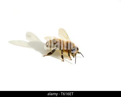European honey bee Apis mellifera isolated on white background - Stock Photo