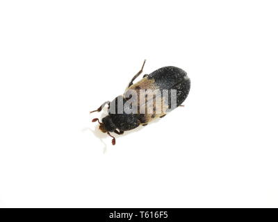 The larder beetle Dermestes lardarius isolated on white background - Stock Photo