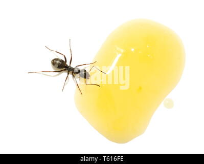 The black garden ant Lasius niger drinking from a droplet of orange juice - Stock Photo