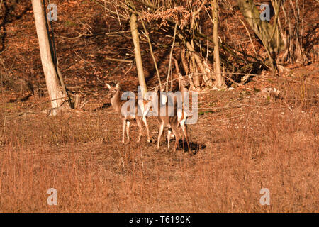Flock of deerskin running inside the forest to hide before enemy - Stock Photo